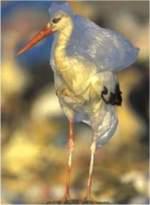 Bolsa plástico. Las aves también se ven afectadas por la proliferación de bolsas de plástico abandonadas. Fuente: federicodelossantos.com.