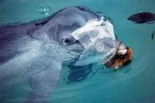 Un delfín con un trozo de plástigo enganchado. Fuente: federicodelossantos.com. Foto: Mark Karwardine.