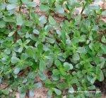 Verdolaga. Fuente: botanical-online.com.