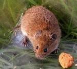 Los ecologistas critican el control poblacional de los topillos mediante cebo envenenado.