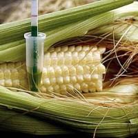 España acoge dos terceras partes de los experimentos con cultivos transgénicos en Europa