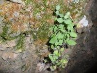 Petrocoptis grandiflora. Fuente unecologistaenelbierzo.wordpress.com.  Foto Enrique L. Manzano.