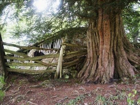 La extraordinaria belleza del tronco milenario de un tejo.
