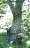Nica y Abel toman la medida a un cerezo silvestre en las Peñas de Ferradillo. 30 mayo 2009.  Fuente: unecologistaenelbierzo.wordpress.com. Foto: Enrique L. Manzano.