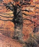 Un árbol merecedor del sello FSC. Fuente Proyectoverde.com