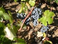 Un viñedo berciano. Molinaseca, 15 sept. 2008. Foto: Enrique L. Manzano.