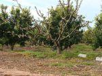 Desiertos verdes. Coexistencia de naranjas y melocotones en una sola parcela en Catadau (Valencia). 26 enero 2008. Fuente: wikipedia.org. Foto: Fev.