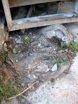 Detalle del tocón de la morera cortada. Bouzas, 7 agosto 2009. Foto: Enrique L. Manzano.