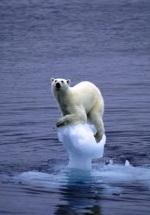 El cambio climático está contribuyendo al deshielo del Polo Norte y poniendo en peligro la supervivencia del oso polar. 2009.