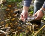 Un vecino de embalse del Rial muestra una trucha muerta de las que se encuentran en la orilla del río Argutorio. 9 oct. 2009. Fuente: bembibredigital.com. Foto: Héctor Kaudell.