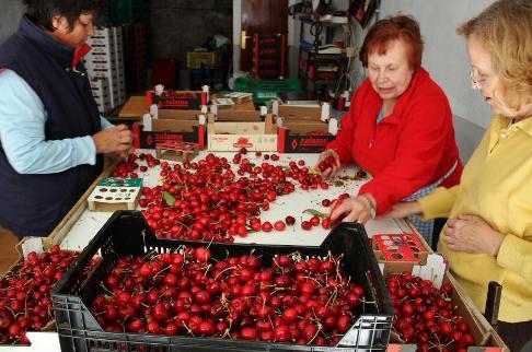 Una cooperativa de cerezas en el valle del Jerte. Guias-viajar.com.