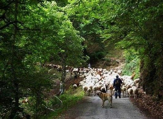 Un rebaño de ovejas en la carretera del valle del Oza, cerca de la herrería de San Juan del Tejo. San Clemente de Valdueza, 19 agosto 2008. Fuente: unecologistaenelbierzo.wordpress.com. Foto: Enrique L. Manzano.