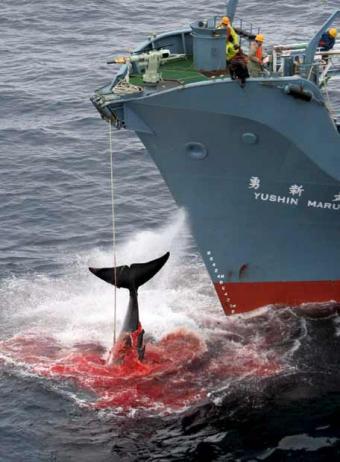 Captura de una ballena por un ballenero nipón. 2010. Fuente: avaaz.org.