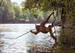 Un orangután en estado salvaje. Fuente: Aadsinimages.com.