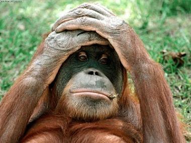 Un orangután. Actualcurioso.
