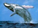 Una ballena jorobada.