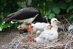 Una cigüeña negra con sus polluelos. 12 jun. 2010. Wikipedia. Matěj Baťha