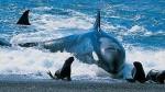 Una orca intenta sorprender a un grupo de focas buscando alimento.