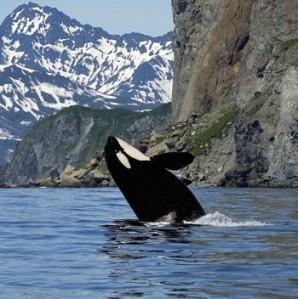 Una orca se entretiene haciendo cabriolas fuera del agua.