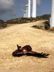 Buitre leonado caído en el Parque eólico de Tarifa (Cádiz). Cocn.tarifainfo.com.