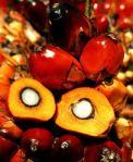 El aceite de palma se obtiene de la semilla de la misma. Árboles y medioambiente.es.