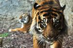 Tigre de Sumatra. 1 mayo 2009. Wikipedia.org. Autor: Mnemorino.