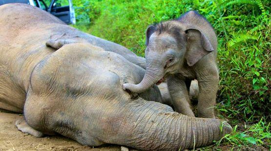 Un bebé elefante pigmeo intenta despertar a su mamá envenenada en el estado de Sabah (Borneo, Malasia). Salvalaselva.org.