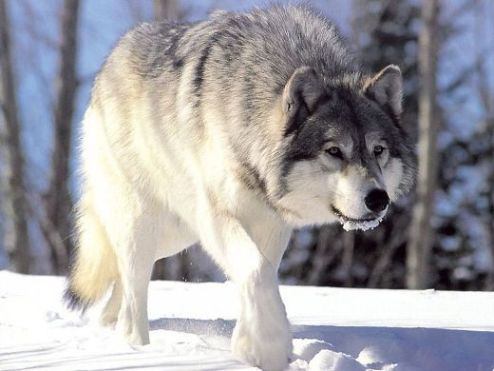 Canis lupus. 24 nov. 2006. Fuente: Wikipedia.org. Foto: Chris Muiden