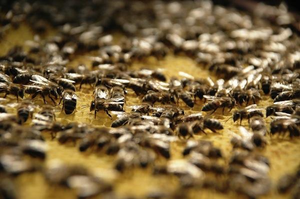 Las abejas son unos insectos extremadamente laboriosos.  Fuente: lainformacion.com.