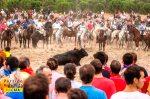Los lanceros rodean a 'Elegido'. El Toro de la Vega. Tordesillas, 16 sept. 2014. Pacma.org.