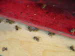 Observación de una colmena con varias abejas muertas en su entrada. 2013. Adapas.com.