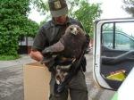 Rescate de un ágila real herida por los agentes medioambientales. Los Yébenes , 22 sept. 2014. Agentesclm.blogspot.com.es.
