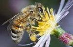 Una abeja polinizando una planta. 2011. Fuente: avaaz.org.