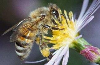 Una abeja polinizando una flor. 2011. Fuente: avaaz.org.