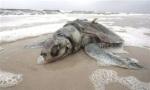 Investigadores del Instituto de Ciencias Marinas de Gulfport están investigando la muerte de varias tortugas coincidiendo con el vertido de BP. Davemartinimage.