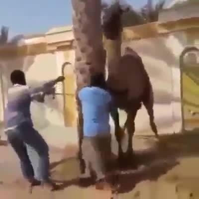 Un camello se rebela y agrede a uno de sus maltratadores.