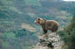 La línea Sama-Velilla influiría negativamente en el programa europeo de conservación del oso pardo. Elrincondelascuatropatas.com.