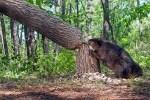 Un castor derribando un árbol. Anca24latam.wordpress.com.