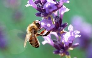 Una abeja colabora en la polinización de una planta. Fuente: elmundo.es.