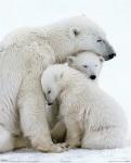 Una familia de osos polares, en riesgo de extinción.