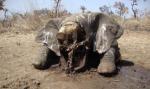 El cadáver de un elefante al que le han arrancado sus colmillos. 2015. Elecodelbierzo.com.