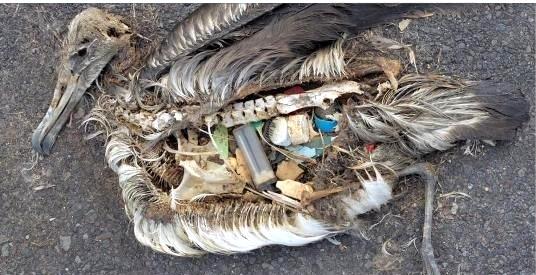 Muchas aves mueren envenenadas por culpa de los pásticos arrojados al mar. Midway 2012.