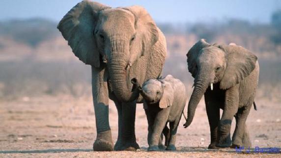 Un grupo familiar de elefantes. Elecodelbierzo.com.