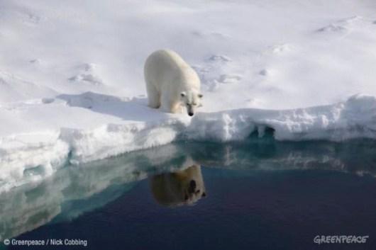Un oso polar en el Ártico. 2 febr. 2014. Greenpeace.org. Foto: Nick Cobbing.