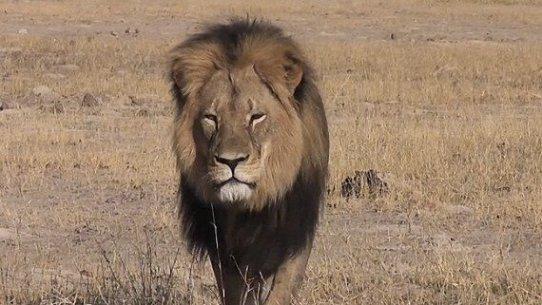 'Cecil', el león abatido, Agosto 2015. Change.org.