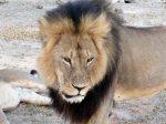 Los cachorros de 'Cecil' están fuera de peligro tras ser adoptados por el 'Jericho', el hermano del león abatido. 6 agosto 2015.  Excelsior.com.mx. Ap.