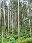 Una plantación de eucaliptus cerca de Vivero (Galicia.. Wikipedia.org.