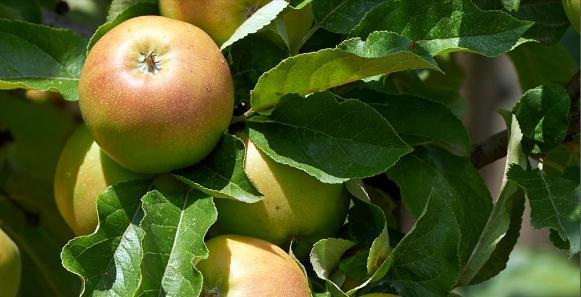 Manzana. Los análisis realizados revelan la presencia de plaguicidas en los cultivos convencionales. Oct. 2015. Greenpeace.org.