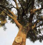 La poda realizada por la Junta CyL únicam ha buscado el arreglo visual de árbol según A Mortera. Otero, 12 enero 2012. Amorteira.org.