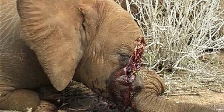 Un elefante abatido y amputado de sus dos colmillos. 2016. Avaaz.org.